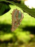 蝴蝶哥斯大黎加的siproeta stelenes 库存图片