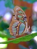 蝴蝶哥斯大黎加的siproeta stelenes 库存照片