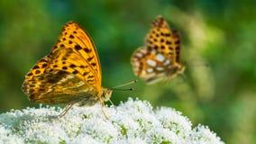 蝴蝶哺养的细节 翼下面 贝母银洗涤了 Argynnis paphia 免版税库存图片