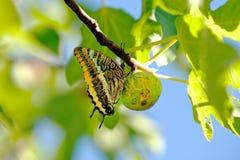 蝴蝶图被结算的西班牙swallowtail 免版税库存照片