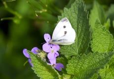 蝴蝶圆白菜授粉一朵紫色花 免版税库存图片