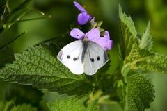 蝴蝶圆白菜授粉一朵紫色花 库存照片