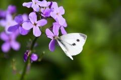 蝴蝶圆白菜授粉一朵紫色花 库存图片