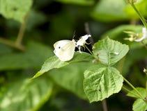 蝴蝶圆白菜授粉一朵紫色花 免版税库存照片