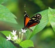 蝴蝶在哥斯达黎加mariposa naranja的Heliconius Hacale zuleikas 库存图片