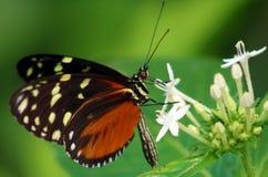 蝴蝶在哥斯达黎加mariposa naranja的Heliconius Hacale zuleikas 免版税库存照片