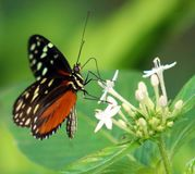 蝴蝶在哥斯达黎加mariposa naranja的Heliconius Hacale zuleikas 库存照片