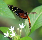 蝴蝶在哥斯达黎加mariposa naranja的Heliconius Hacale zuleikas 免版税图库摄影
