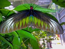 蝴蝶在槟榔岛马来西亚 图库摄影