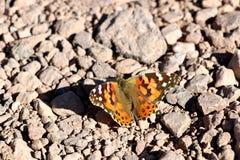 蝴蝶在死亡谷沙漠在加利福尼亚,美国 免版税图库摄影