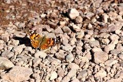 蝴蝶在死亡谷沙漠在加利福尼亚,美国 图库摄影
