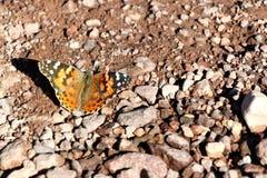蝴蝶在死亡谷沙漠在加利福尼亚,美国 库存图片