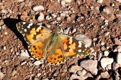 蝴蝶在死亡谷沙漠在加利福尼亚,美国 免版税库存图片