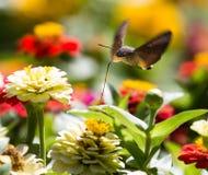 蝴蝶在飞行中会集从花的花蜜 图库摄影