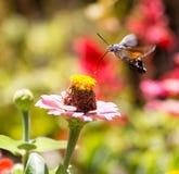 蝴蝶在飞行中会集从花的花蜜 免版税图库摄影