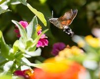 蝴蝶在飞行中会集从花的花蜜 库存图片