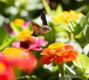 蝴蝶在飞行中会集从花的花蜜 免版税库存图片
