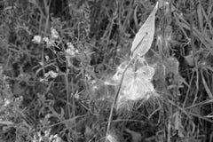 蝴蝶在黑白的乳草seedpod 库存图片