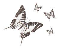 蝴蝶地点swordtail 免版税图库摄影