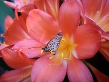 蝴蝶坐一朵桃红色花的瓣 免版税图库摄影