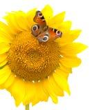 蝴蝶坐在一个空白背景的一个向日葵 免版税库存照片