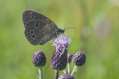 蝴蝶坐紫罗兰色花,特写镜头 库存照片