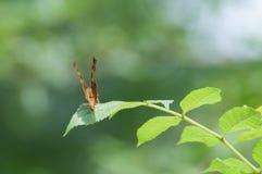 蝴蝶基于叶子的聚乙烯性原细胞c册页 免版税库存图片
