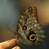 蝴蝶大猫头鹰 库存照片