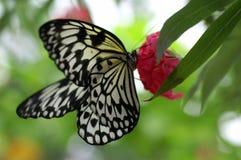 蝴蝶大若虫结构树 免版税库存照片