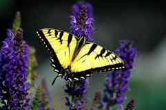 蝴蝶大swallowtail老虎黄色 免版税库存图片