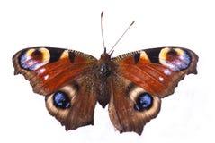 蝴蝶孔雀 免版税库存图片