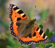 蝴蝶小的龟甲 库存照片
