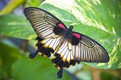 蝴蝶尾标 库存照片