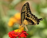 蝴蝶巨人swallowtail 免版税库存照片