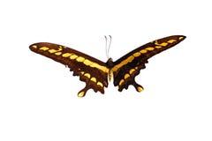 蝴蝶巨人swallowtail 库存图片