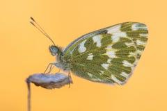 蝴蝶巴恩白色橙色背景 免版税图库摄影
