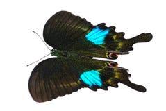 蝴蝶巴黎孔雀 库存图片