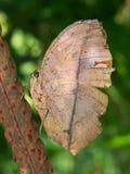 蝴蝶干燥叶子 图库摄影