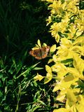 蝴蝶惊人的射击早晨 图库摄影