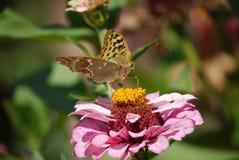 蝴蝶授粉一朵花的橙色核心与大桃红色瓣的 免版税库存图片