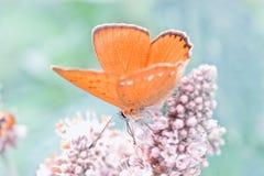 蝴蝶接近  库存照片