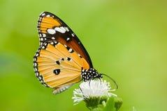 蝴蝶提供的花乳草 免版税库存照片