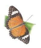 蝴蝶无格式老虎 库存图片