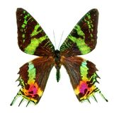 蝴蝶日落飞蛾缪斯女神ripheus在白色背景隔绝的马达加斯加 一只热带蝴蝶的多彩多姿的翼 库存图片