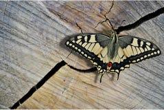 蝴蝶旧世界Swallowtail 库存图片