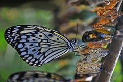 蝴蝶最近被策划的swallowtail 库存图片
