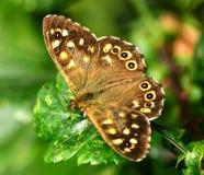 蝴蝶有斑点的木头- Pararge Aegeria 图库摄影