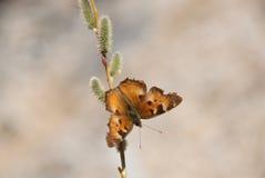 蝴蝶枝杈 库存照片