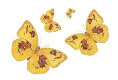 蝴蝶柠檬移出境者 库存图片
