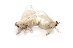 蝴蝶查出的丝绸桑蚕白色蠕虫 免版税库存照片